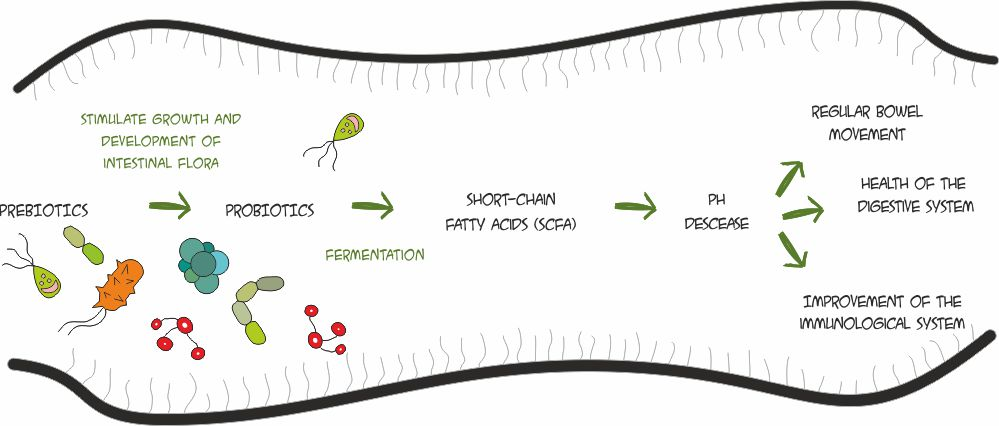 prebiotics effects